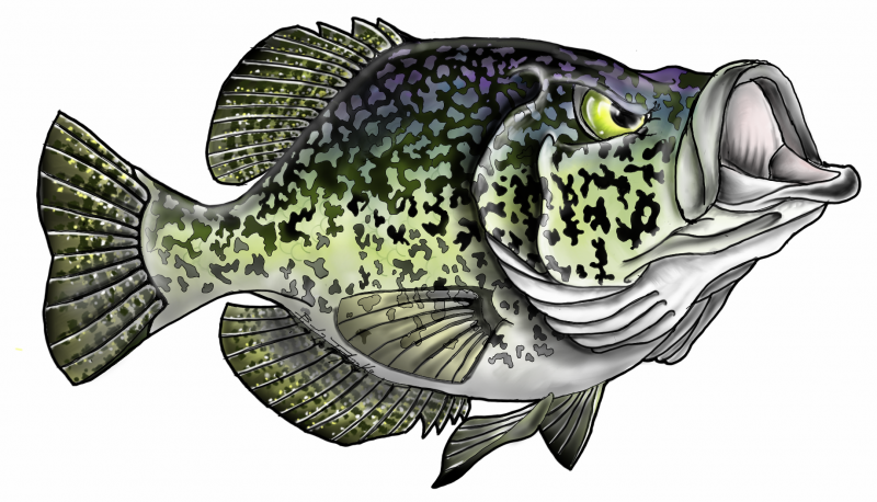 speckled trout art