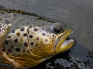 Brown Trout Grand River
