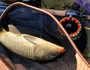 Common Carp on The Fly Rod ...