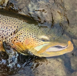 A Migratory Great Lakes Brown Trout ...