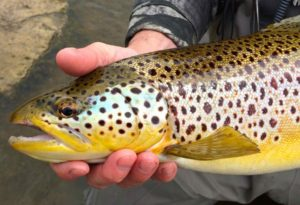 Ian 22 inch Grand River Brown Trout CC