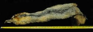 Gray Fox Full Skin for Fly Tying